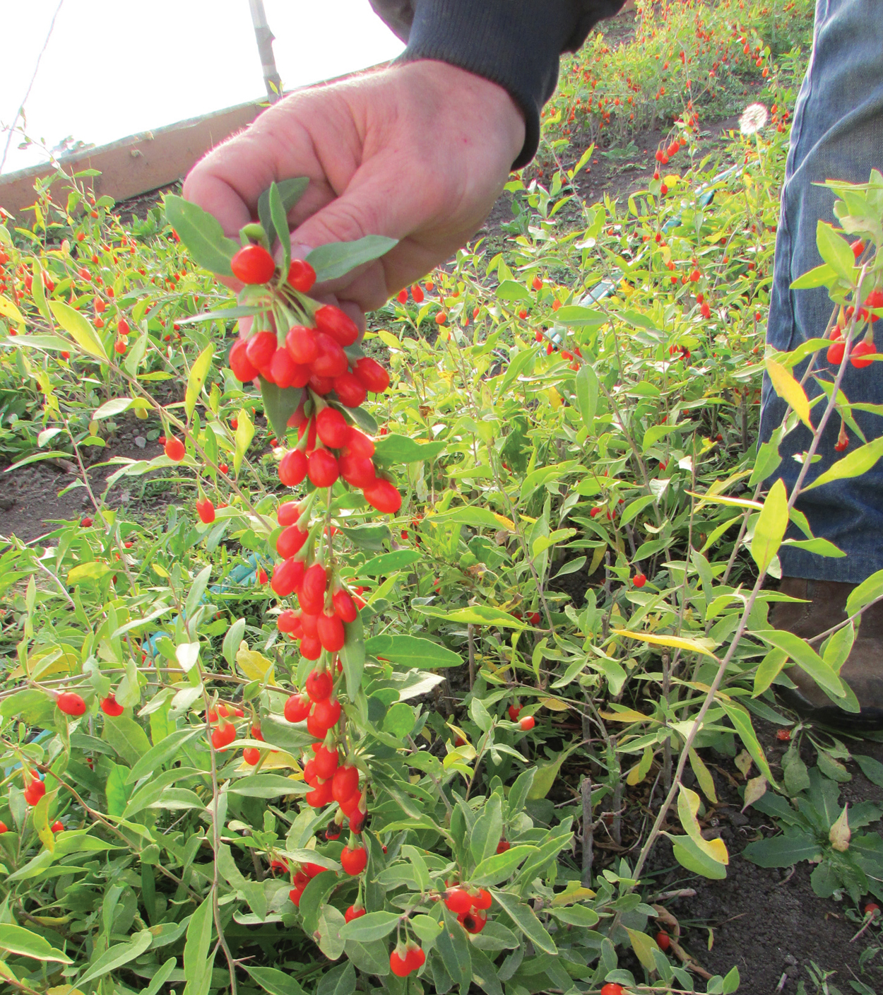 The Goji Berry Plant Grow The Alpha Superfood In Your Garden