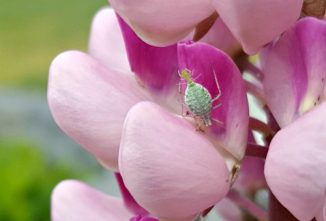 Natural Aphids Control in Your Garden