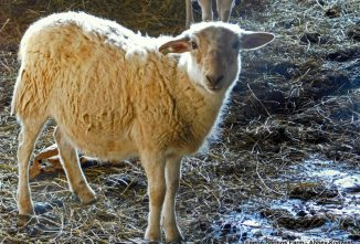 Hair Sheep Breeds – The Right Choice for You?