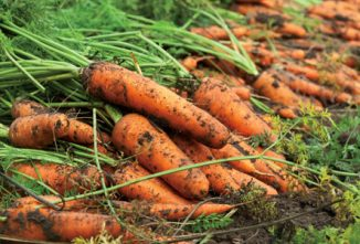 Get An Early Start With Carrots