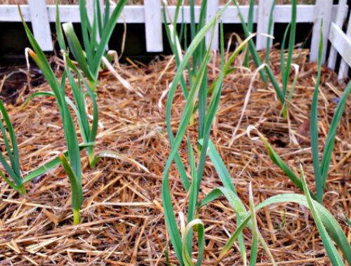 growing-garlic-for-backyard-chickens