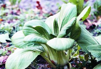 Growing Cabbage: Discovering Oriental Varieties