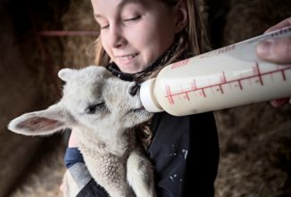 Sheep Gestation and Slumber Parties: It's Lambing Season At Owens Farm