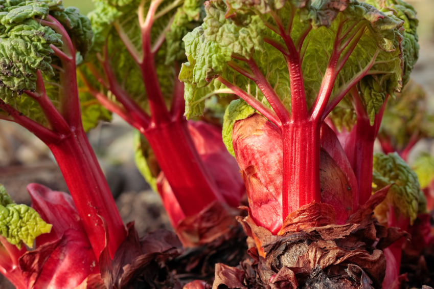 How to Grow Rhubarb: Diseases, Harvesting and Recipes