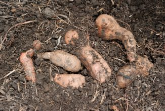 Growing Sweet Potatoes in Cold Climates