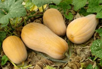 Cucurbita Moschata: Growing Butternut Squash from Seed
