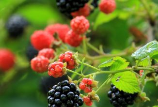 Growing Blackberries on Your Homestead