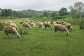 Prevent Sheep Bloat by Managing Your Flock