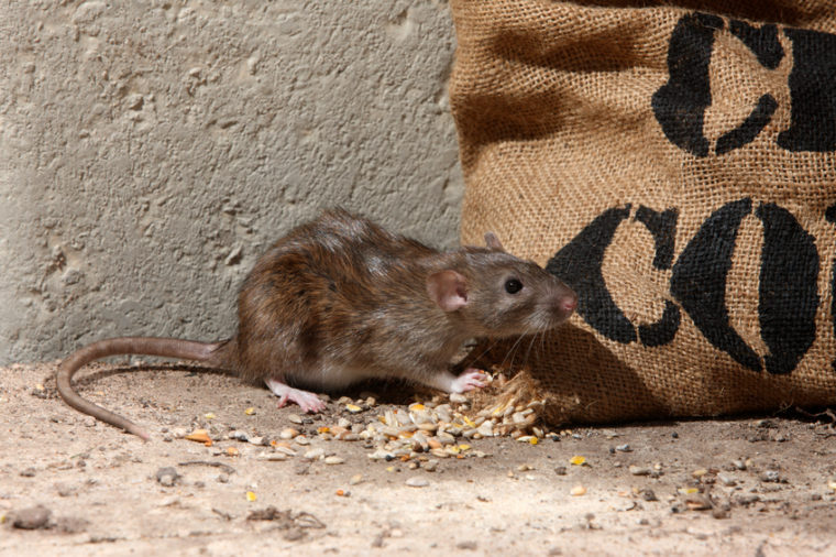 How to Get Rid of Rats - Countryside