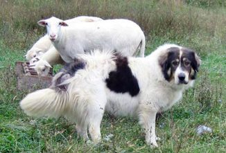 All About Karakachan Livestock Guardian Dogs