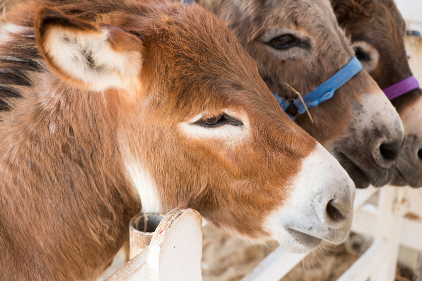 How to Start Keeping Donkeys on the Homestead