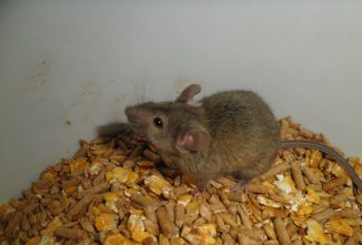 Natural Ways to Get Rid of Mice