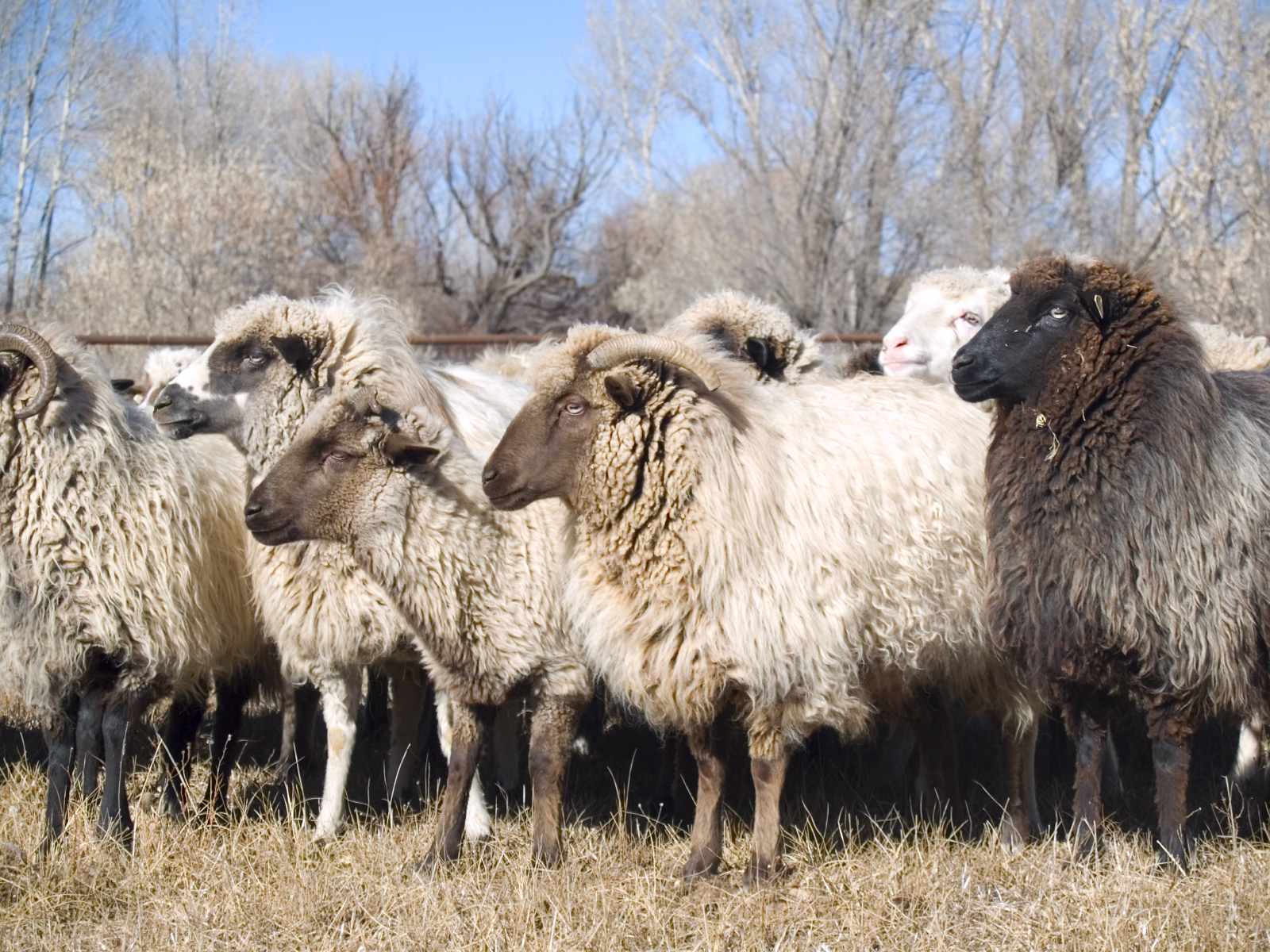 Raising Sheep For Profit: A Cattle Man's View
