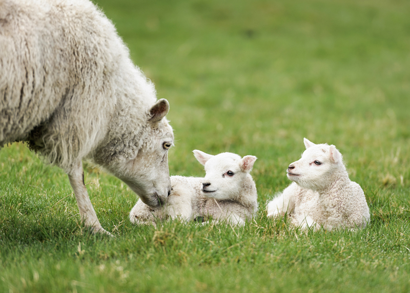 Sheep Giving Birth: Tips for Successful Lambing