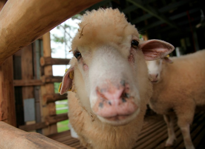 Help Your Animals Adjust to New Homesteading Land