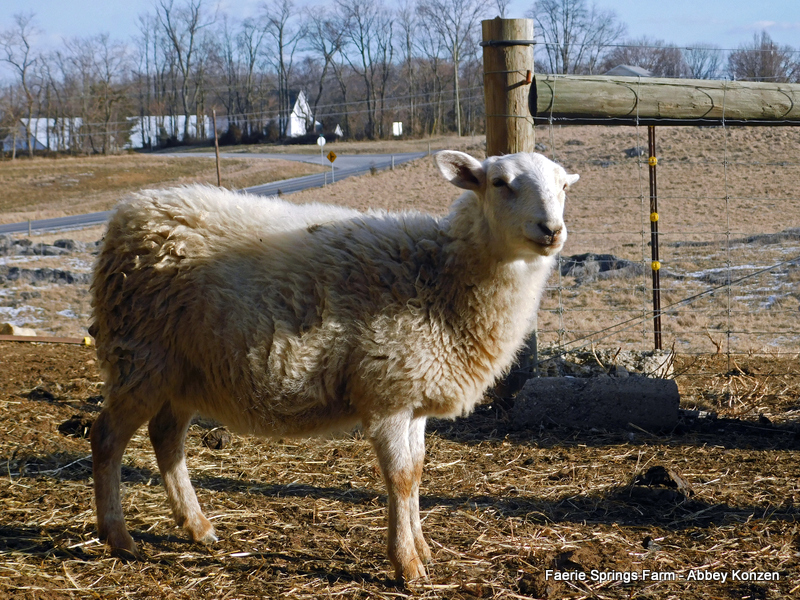hair sheep breeds