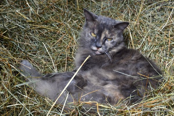 how-to-raise-a-barn-cat