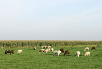 Wondering What to Feed Sheep? How about Field Corn!