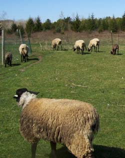 suffolk-sheep-wool