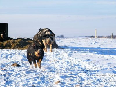 wintering-pigs-on-pasture
