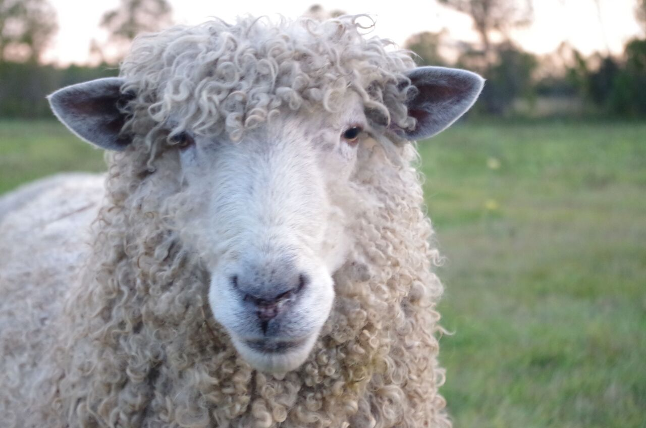 The Lincoln Longwool Sheep