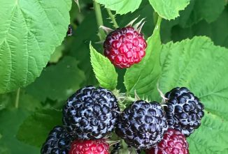 Black Raspberries (Rubus): 2020 Herb of the Year