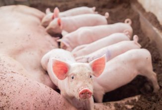 Poultry, Goat, Sheep, Swine, and Cow Gestation Calculator