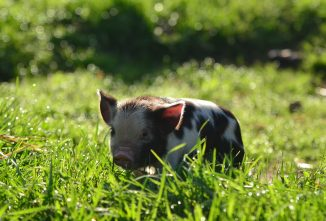 Weaning Pasture Piglets