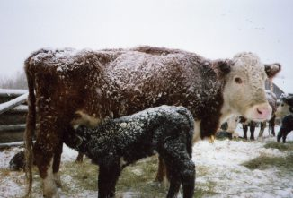 cold-stress-in-cattle