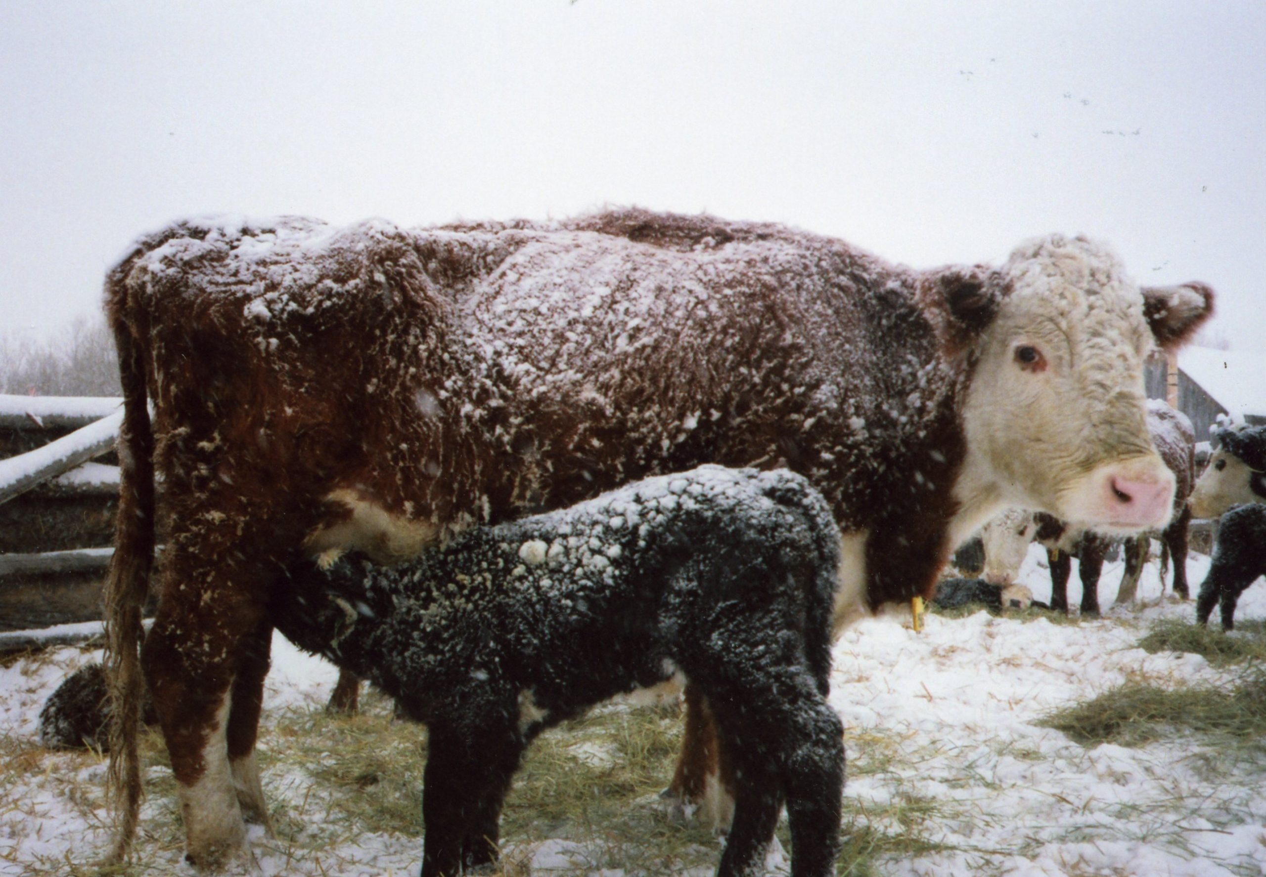 Preventing Cold Stress in Cattle