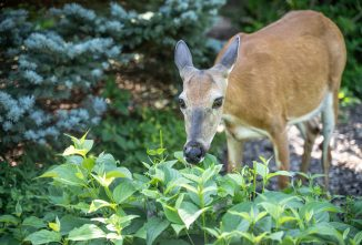 How to Make Natural Deer Repellent