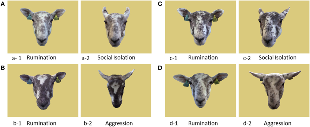 sheep-facial-expressions