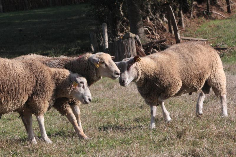 ram-lambs-playing