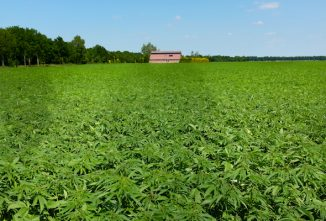 Growing Hemp on the Homestead