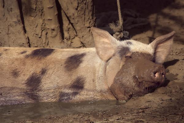 How to Raise Hogs to be Happy and Naturally Healthy