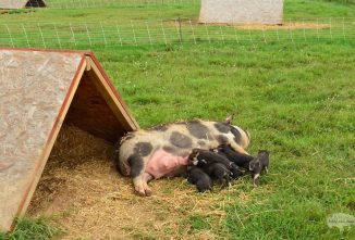 How to Build A-Frame Pig Shelters