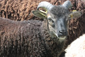 Soay Sheep: Hardy, Low-Maintenance, and Eco-Friendly