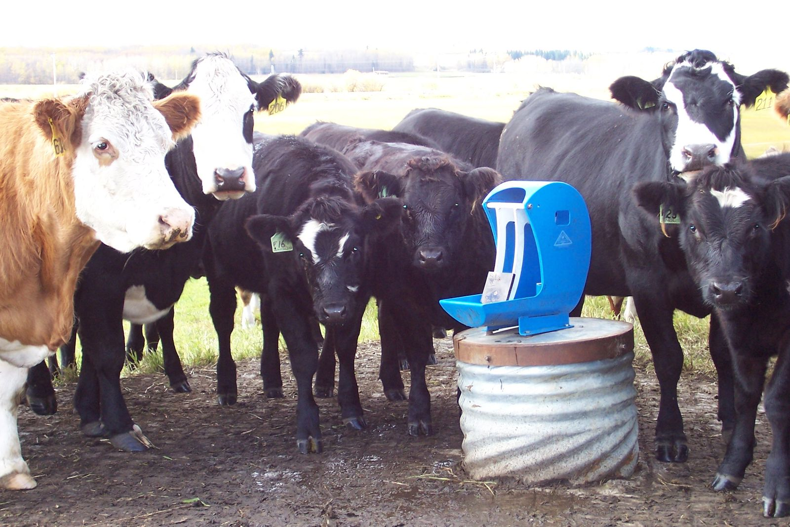 The Best Cattle Waterers for Winter