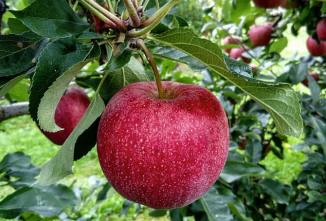 Growing Fruitful Apple Trees