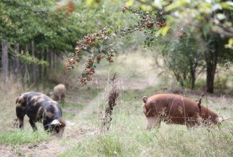 permaculture-pigs