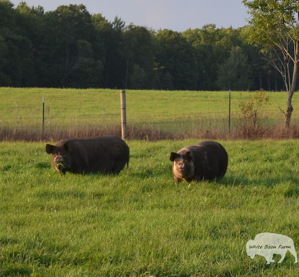 Raising Idaho Pasture Pigs