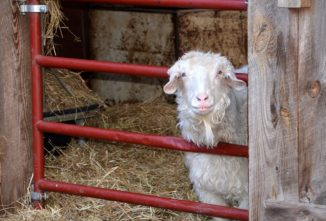 Do You Know the Difference Between Goats and Sheep?
