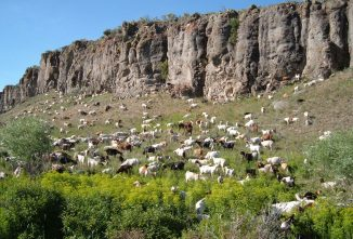Weed Eating Goats Tackle a Noxious Problem