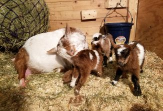 How Long is Goat Gestation?