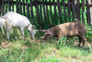 How to Raise Goats In Your Backyard