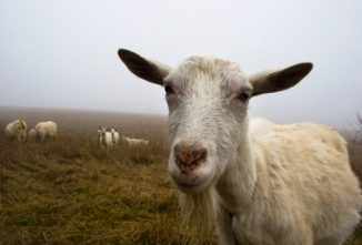 Pneumonia In Goats
