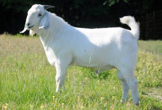 Breed Profile: Savanna Goats