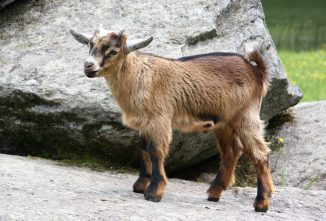 Boy Bands are Back! Banding Goats 101