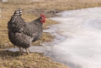 How Cold is Too Cold for Chickens in Winter? — Chickens in a Minute Video