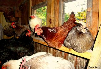 Everything You Need to Know About Chicken Roosting Bars